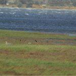Canada Geese Findhorn Bay 14 Jun 2018 Allan Lawrence