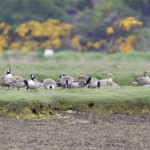 Canada Geese Findhorn Bay 3 June 2013 Richard Somers Cocks