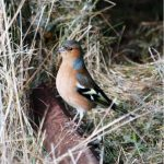 Chaffinch Forres 11 Feb 2017 Allan Lawrence