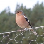 Chaffinch, Wellhill Farm 10 Oct 2015 (Bob Proctor)