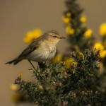 Chiffchaff, Loch Spynie 10 Apr 2015 (David Main)