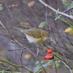 Chiffchaff Loch Spynie 31 Oct 2017 Gordon Biggs 2
