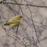 Chiffchaff, Torrieston 19 Apr 2016 (David Main)