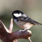 Coal Tit Lossie Forest 2 copy