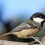 Coal Tit, Lossie Forest 24 Oct 2016 (Gordon Biggs)
