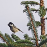Coal Tit, Ordiequish Forest 26 Feb 2015 (Tony Backx)