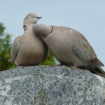 Collared Dove, Elgin cemetery 12 Jun 2014 (Bob Proctor) 4