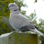 Collared Dove, Elgin cemetery 21 May 2016 (Bob Proctor) P