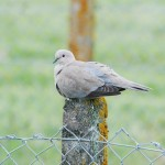 Collared Dove Kinloss 7 June 2014 Allan Lawrence