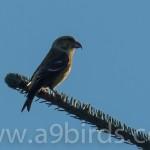 Common Crossbill wing barred female Tomnamoon 2 Nov 2015 Mike Crutch P