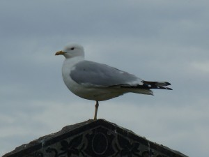 Common Gull, Elgin cemetery 15 May 2014 (Bob Proctor)