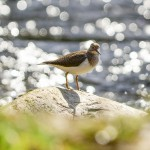 Common Sandpiper Blacksboat 19 Apr 2014 David Main
