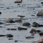 Common Sandpiper Dipple 10 Dec 2016 Martin Cook