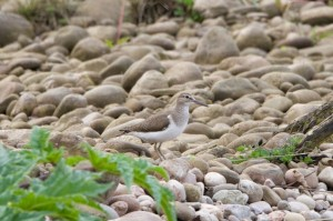 Common Sandpiper, Findhorn Bay 14 May 2014 (Richard Somers Cocks)