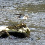 Common Sandpiper Glenlivet 2 May 2017 Alison Ritchie