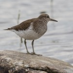 Common Sandpiper, Kellas 24 Jun 2016 (David Main)