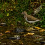 Common Sandpiper Kellas River Lossie 2 June 2014 David Main