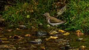 Common Sandpiper, Kellas (River Lossie) 2 June 2014 David Main