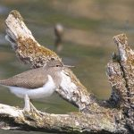 Common Sandpiper Loch Spynie 12 May 2017 Gordon Biggs P