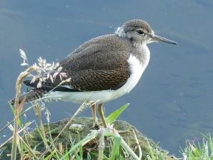 Common Sandpiper, Loch Spynie 6 Jul 2014 (Bob Proctor)
