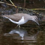 Common Sandpiper, Mosset Burn 30 Jul 2016 (Richard Somers Cocks)