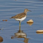 Common Sandpiper Wester Delnies 11 Sept 2014 Tony Backx