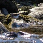 Common Sandpiper nr Drynachan 20 Apr 2014 Alison Ritchie