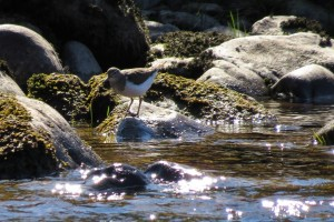 Common Sandpiper nr Drynachan, 20 Apr 2014 (Alison Ritchie)