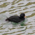 Common Scoter Burghead harbour 2 April 2014 Gordon Biggs