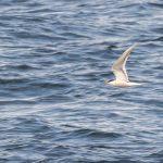 Common Tern Burghead 19 Apr 2018 David Main