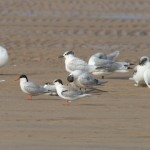 Common Tern Findhorn 21 Sept 2014 Richard Somers Cocks