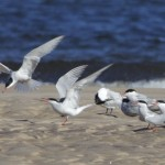 Common Terns Findhorn 13 May 2013 Richard Somers Cocks