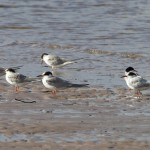 Common Terns Findhorn 4 Oct 2014 Richard Somers Cocks