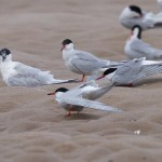 Common and Arctic Terns Findhorn beach 7 Jul 2016 Richard Somers Cocks