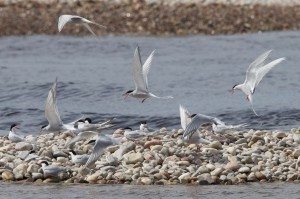 Common and Arctic Terns, Tugnet 16 May 2014 (Richard Somers Cocks)