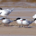 Common and Sandwich Terns Findhorn beach 3 May 2016 Richard Somers Cocks P
