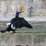 Cormorant Burghead 25 Mar 2013 Tony Backx