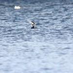 Cormorant carbo Loch na Bo 1 Mar 2015 Mark Holling