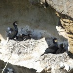 Cormorant colony Covesea 7 June 2014 Martin Cook