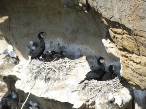Cormorant colony, Covesea 7 June 2014 (Martin Cook)