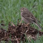 Corn Bunting Wester Coltfield 9 May 2018 Mike Crutch 2