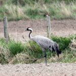 Crane Gilston 30 Apr 2017 Gordon Biggs 1P