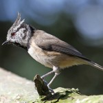 Crested Tit Lossie Forest 30 Sept 2014 Gordon Biggs