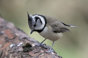 Crested Tit, Lossiemouth 22 Mar 2014 (Gordon Biggs)