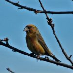 Crossbill Kinloss 23 Mar 2017 Allan Lawrence