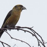 Crossbill, Newtyle 15 Feb 2015 (Mike Crutch)
