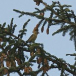 Crossbill sp., Darnaway 28 Oct 2014 (Mike Crutch)