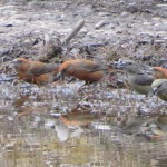 Crossbills Culbin 8 May 2013 Alison Ritchie