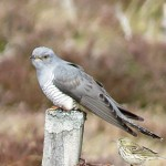 Cuckoo, Aitnoch 7 May 2015 (Alison Ritchie) 2