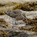 Curlew Burghead 19 Aug 2016 Tony Backx 1 P